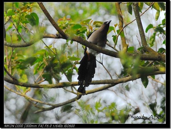 樹鵲(2008-04-05台北)0086