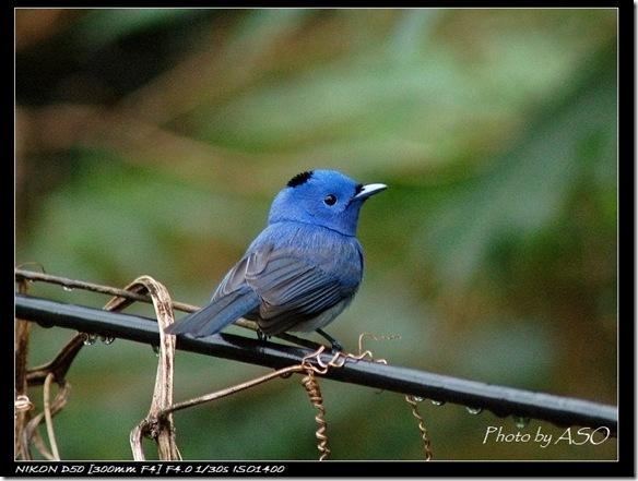 黑枕藍鶲(2007-01-14太昌)0022