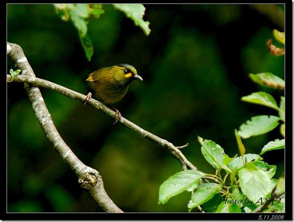 藪鳥(2008-05-11關原)0252