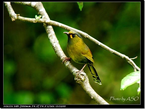 藪鳥(2008-05-11關原)0257