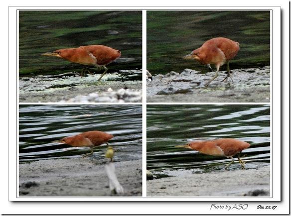 栗小鷺(2007-12-22美崙溪)0033