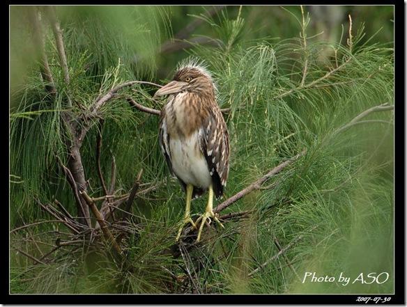 夜鷺(2008-07-30鰲鼓溼地)0112