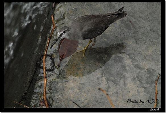 黃足鷸(2008-09-12美崙溪口)0062
