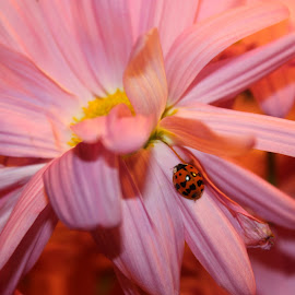 Lady Bug and Pink Daisy by Christie Henderson - Novices Only Flowers & Plants ( pink daisy )