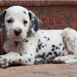 Aragorn. by Prasanna Banwat - Animals - Dogs Puppies ( dalmatian, puppy, sleep, cute, dog, baby, young, animal )
