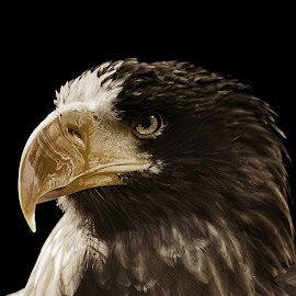 Steller Sea Eagle by Jamie Cournoyer - Animals Birds ( bird, steller sea eagle, sepia, portrait )