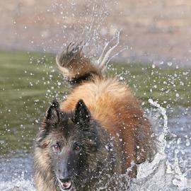 Dog splash! by Mia Ikonen - Animals - Dogs Playing ( belgian shepherd tervueren, finland, beach, fun, water splash )
