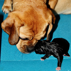 Eskimo Kisses by Donna Martin - Animals - Dogs Puppies ( puggle, puppy, newborn, tan, black )