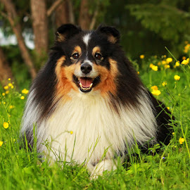 by Jane Bjerkli - Animals - Dogs Portraits ( pet, shetland sheepdog, summer, flowers, dog, sheltie, portrait, animal )