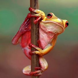 Yellow Frog by Ubayoedin As Syam - Animals Amphibians