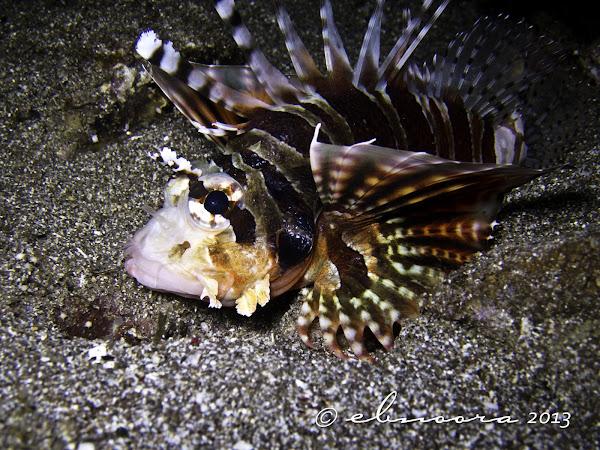 Zebra Lionfish, Dwarf ...