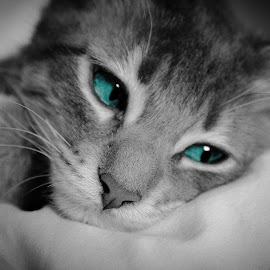 Blue Eyes by Danielle Benbeneck - Animals - Cats Portraits ( kitten, cat, selective color, black and white, blue eyes, portrait )