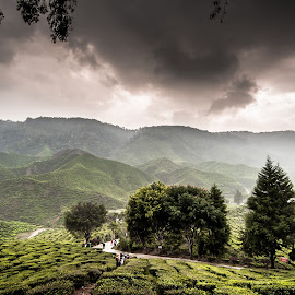 Tea Farm by William Chin - Landscapes Mountains & Hills