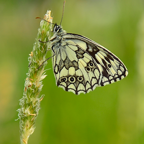 by Selçuk Özkan - Animals Other ( butterfly, nature, green, natur )