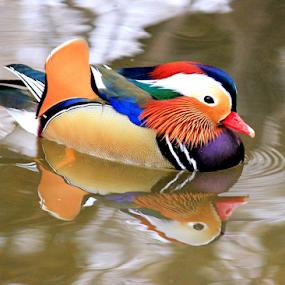 Mandarin Duck by Roxie Crouch - Animals Birds ( waterfowl, mandarin duck, duck, chinese )