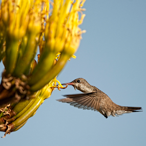 Yellow flower and bird by Cristobal Garciaferro Rubio - Animals Birds ( bird, humminbird, flower )