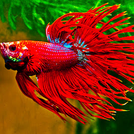 Red and blue betta flarred by David Winchester - Animals Fish (  )