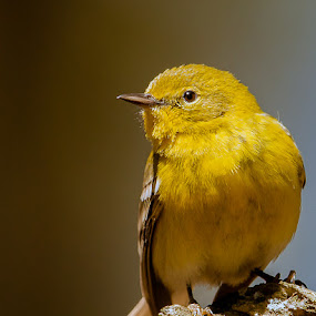 Pine Warbler by Paul Brown Jr. - Animals Birds ( spring birds, birds,  )