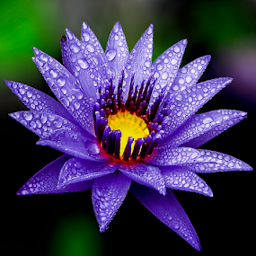 by Asher Jr Salvan - Nature Up Close Flowers - 2011-2013 ( drops,  )