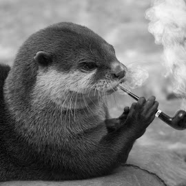 Smokin ma' pipe by Aram Becker - Digital Art Animals ( otter, smoking, digital art, cute, puff, detective, pipe, smoke, photoshop )