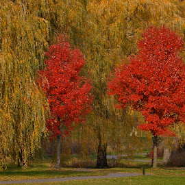 Two Red Trees by Miren Etcheverry - Landscapes Forests ( orange, red, tree, autumn, foliage, fall, color, colorful, nature,  )