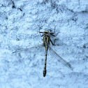 Horned Clubtail Dragonfly