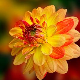 by Carl Sieswono Purwanto - Flowers Single Flower ( canon, hadlia, kuning, hamburg )