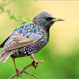 Starling. by Stuart Finley - Animals Birds