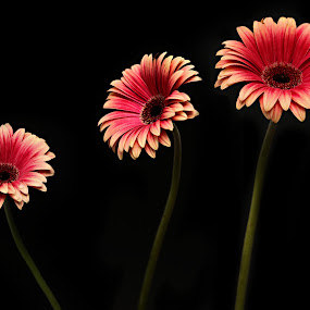 Three of a Kind by Jen Millard - Artistic Objects Other Objects ( simple, daisy, flower )