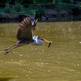 Gray heron with fish by Pietro Ebner - Animals Birds (  )