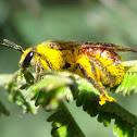 Overloaded halictid bee