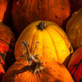 by Terry Porter - Nature Up Close Gardens & Produce ( farm, big orange pumpkin farm, orange, pumpkin, texas, fall, tporter2006, 2011, celina, rural, september )