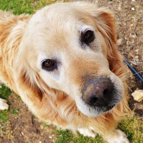 Handsome old fella by Isabelle Largen - Animals - Dogs Portraits