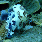 Polka-dot nudibranch & egg ribbon