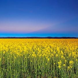 canola farm by Surya Fajri - Landscapes Prairies, Meadows & Fields ( canon, canola farm, australia, nsw, travel, dusk )