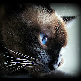 Miss Truffles by Trish Hamme - Animals - Cats Portraits
