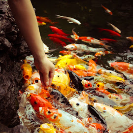 The Hungry Herd by Savneet Kaur - Animals Fish ( water, bright, colorful, fish, pond, shanghai, animal )
