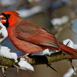 Cardinal in the snow by Dan Ferrin - Animals Birds ( bird, male cardinal, cardinal, nature, northern cardinal, snow, wildlife, birds )