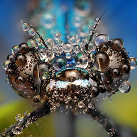 Blue by Ondrej Pakan - Animals Insects & Spiders ( macro, damselfly, dew, dew drops, dragonfly, insect )