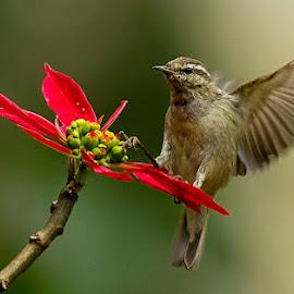 Tytler on a Flower  by Prasanna Bhat - Animals Birds