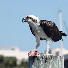 Osprey, the Fish Hawk having lunch by Jan Irons - Novices Only Wildlife ( bird, bird of prey, osprey,  )