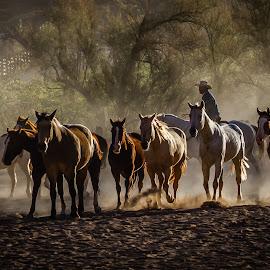 Moab Horses  by John Covin - Animals Horses ( animals, roundup, horses, cowboys, western, man )