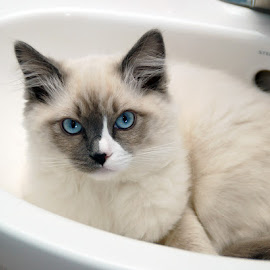 Hiding in the Bathroom Sink by Luanne Bullard Everden - Animals - Cats Kittens ( cats, animals, blue, sinks, kittens,  )