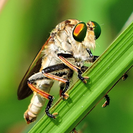 Assassin fly by Yusop Sulaiman - Animals Insects & Spiders