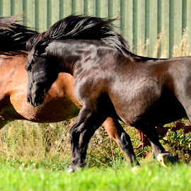 fast and furious..! by Kristin Smestad - Animals Horses ( stallion, equine, norsk kaldblodstraver, hest, horse, animal,  )