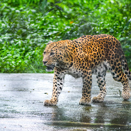 leopard on the prowl by Subhajit Ganguly - Animals Lions, Tigers & Big Cats (  )