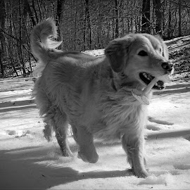 Mac in Monochrome by Cecilia Sterling - Animals - Dogs Running (  )