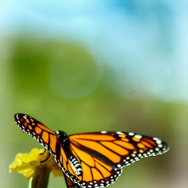monarch and marigold by Chesserie Savell - Novices Only Wildlife