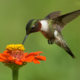 Ruby Throated  by Linda Shannon-Morgan - Animals Birds ( ruby throated hummingbird, nature, blooms, hummingbird, wildlife, flowers, nikon, birds )