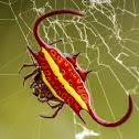Spiny Orb-web Spider